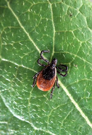 Adult Deer Tick_credit Scott Bauer USDA