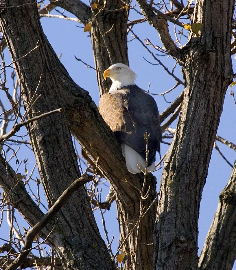 Bald Eagle_Big Muddy NWR_credit USFWS