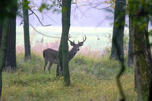 Deer in Woods_credit Joe Kosack_PGC Photo