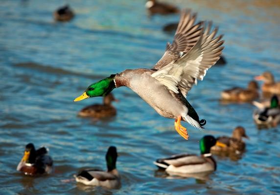 Duck Flying_iStock