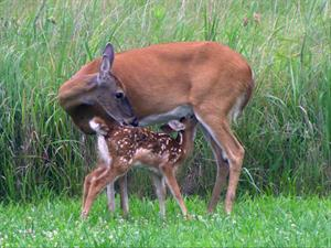 Fawn with Mother Deer_credit USFWS