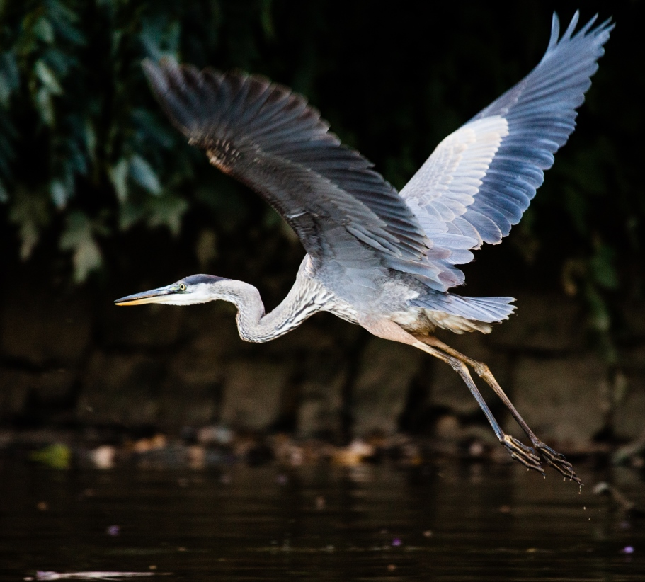 great blue heron Anacostia River 2014_credit Will Parson-Ches Bay Prog_sm