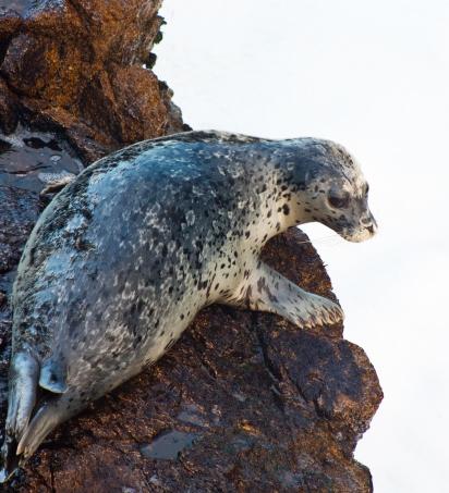 Harbor Seal_credit Erik Oberg_Island Conservation