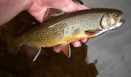 Medium Brook Trout in Big Hunting Creek Maryland_credit iStock