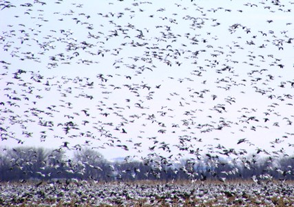 Snow Goose Migration_credit USFWS