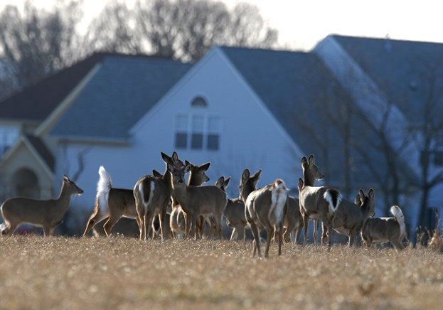 Deer in suburban neighborhood. Credit: Joe Kosack/PGC Photo