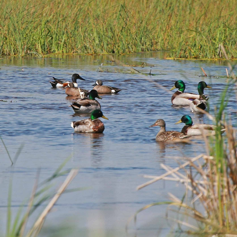 waterfowl_Agassiz NWR_MN_credit USFWS