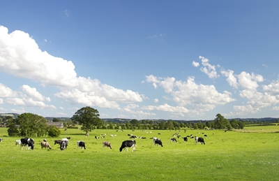 Cows in Pasture_iStock