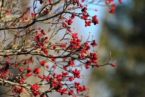 dogwood berries_credit Ryan and Sarah Deeds