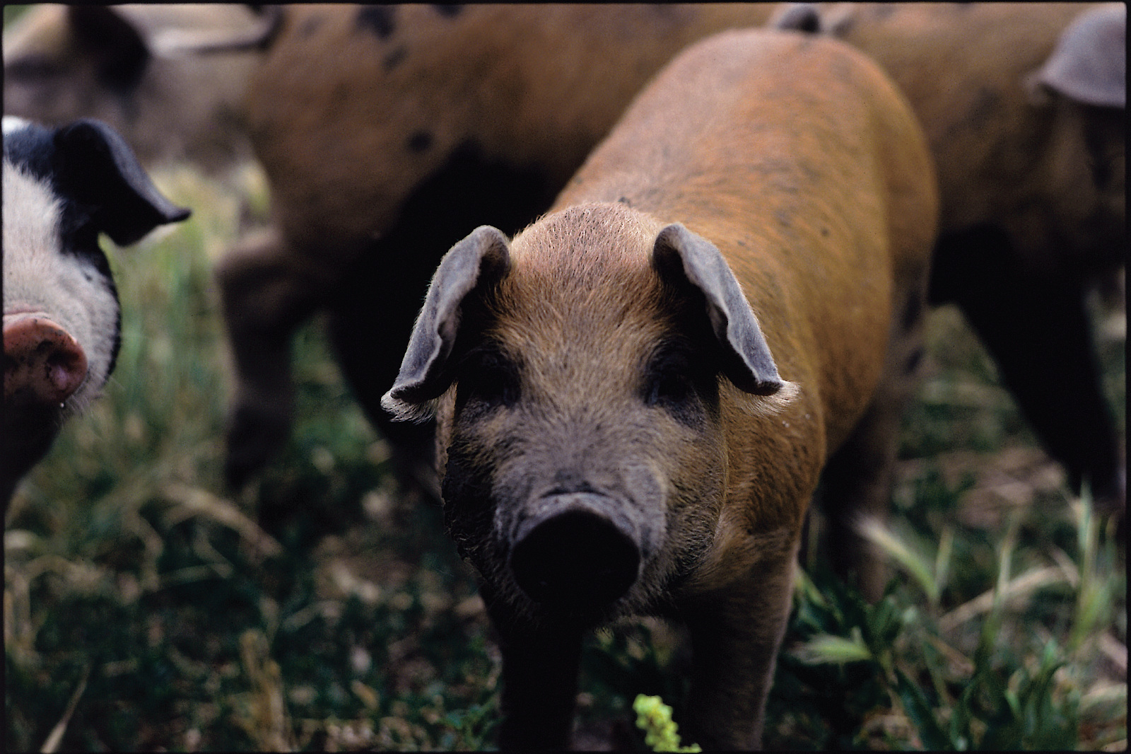 Hog_credit Tim McCabe_USDA-NRCS