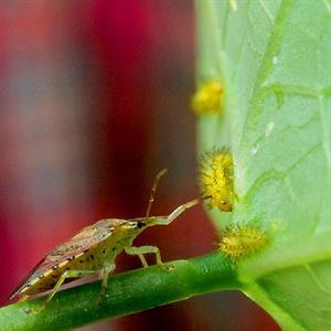 Example of integrated pest management: Spined soldier bug eating Mexican bean beetle larvae. Credit USDA ARS.
