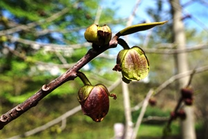 paw paw_Boston_credit Plant Image Library