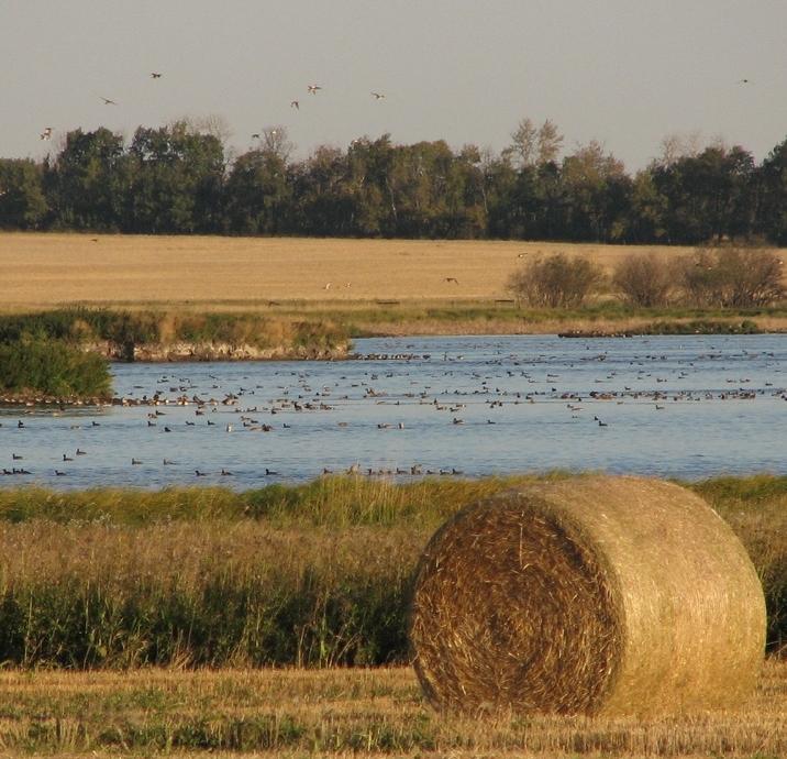 Ducks on a farm wetland