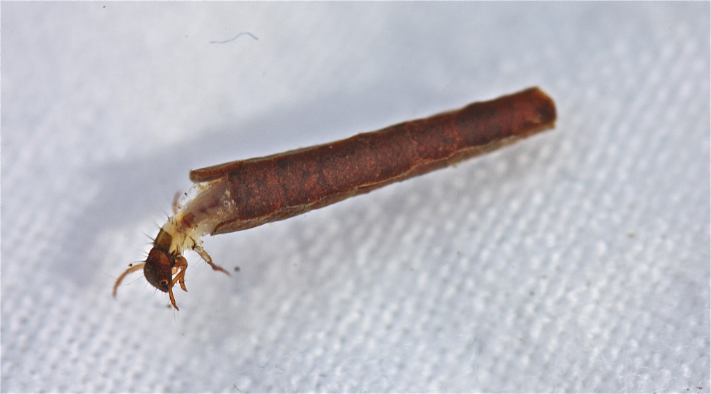 Caddisfly 1_Bob Hendricks