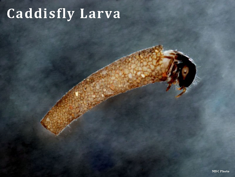 Caddisfly_Missouri Dept of Conservation