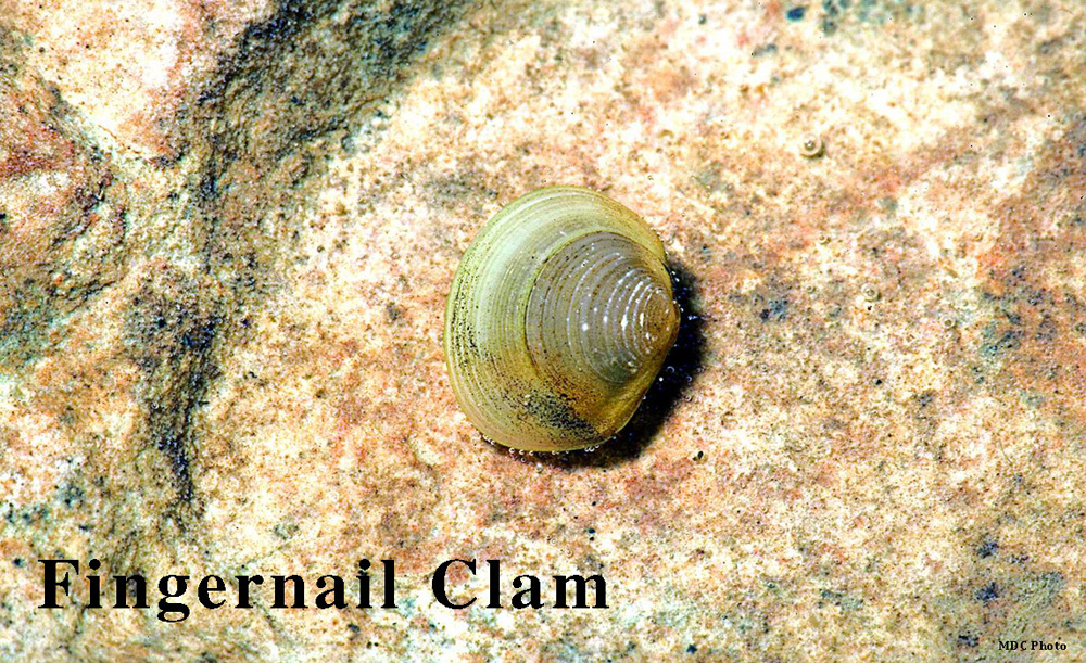 Clam_Missouri Dept of Conservation