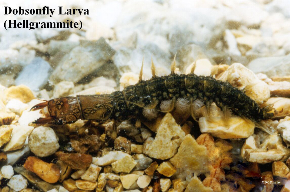 Dobsonfly 2_Missouri Dept of Conservation