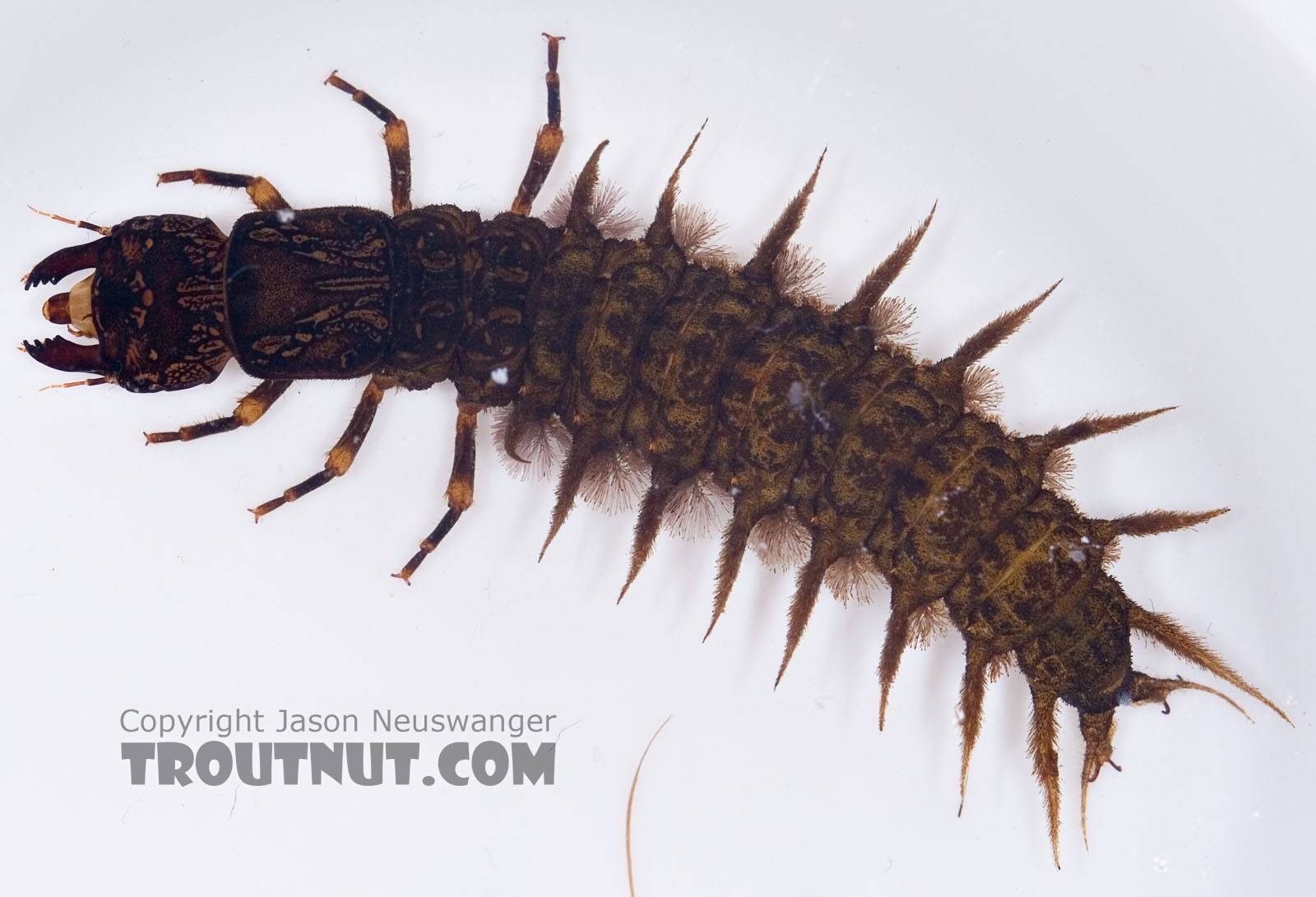 Dobsonfly 2_Troutnut