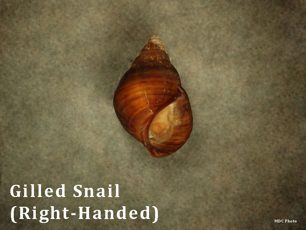 Gilled Snail 3_Missouri Dept of Conservation