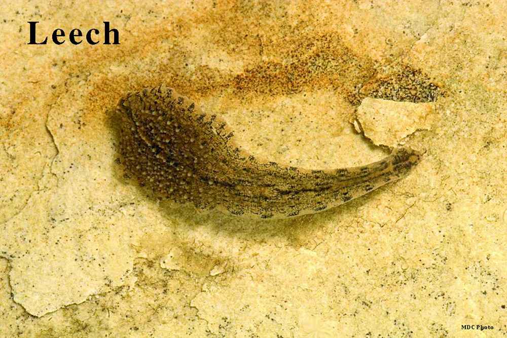 Leech_Missouri Dept of Conservation