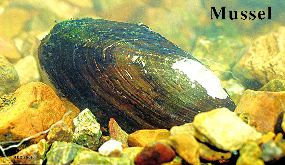 Mussel_Missouri Dept of Conservation