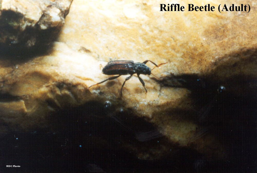 Riffle Beetle Adult 1_Missouri Dept of Conservation