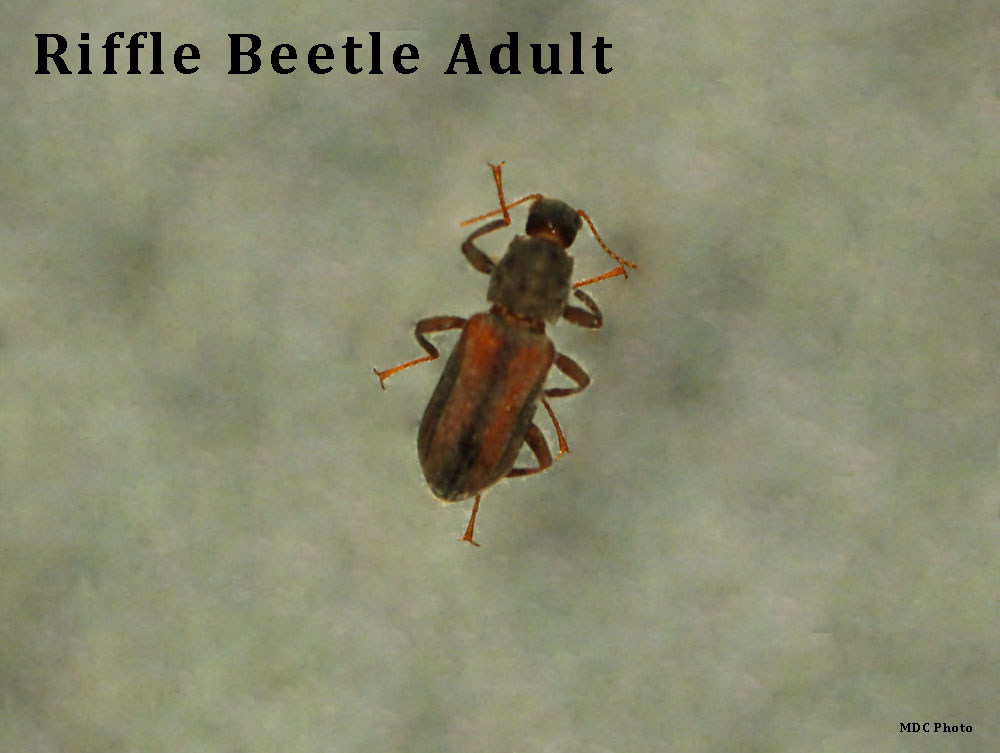 Riffle Beetle Adult 2_Missouri Dept of Conservation