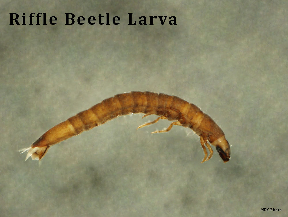 Riffle Beetle Larva 2_Missouri Dept of Conservation