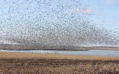 Snow geese on a wetland