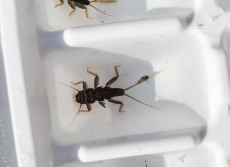 stonefly in ice cube tray