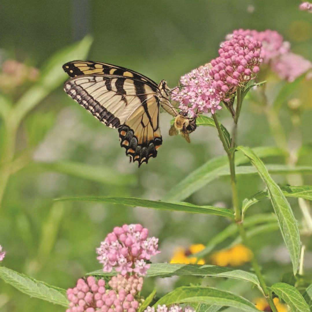 Pollinators on milkweed - credit Benjamin Vogt