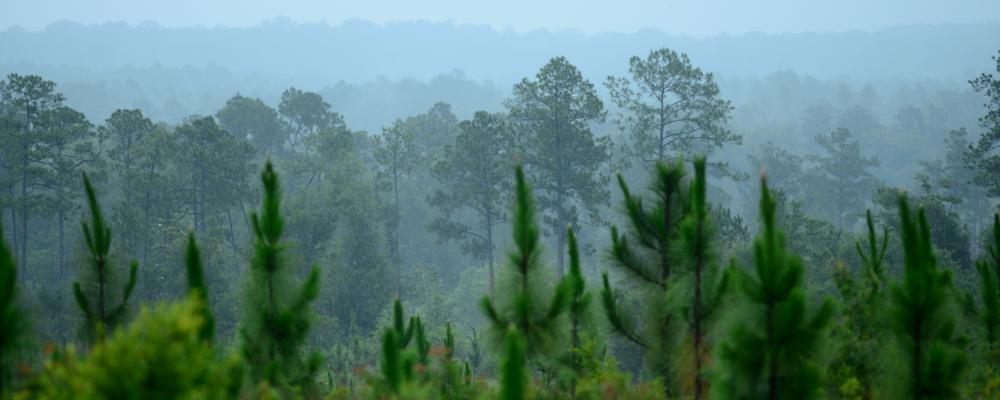 A young longleaf pine forest in Alabama - credit Stephen Kirkpatrick