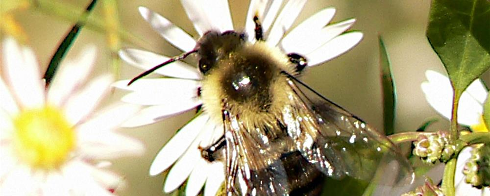 Bumblebee - credit USFWS