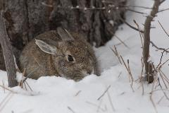 Cottontail in snow