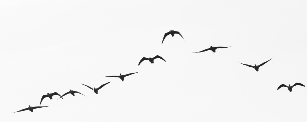 Geese migrating - credit Getty Images