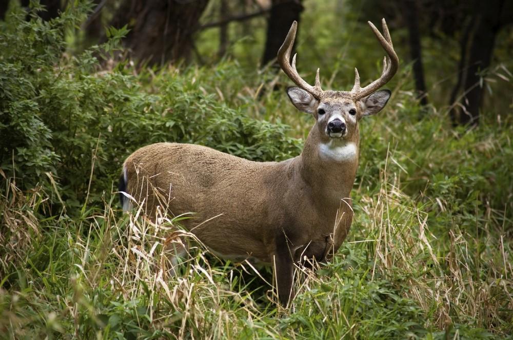 Deer looking at viewer