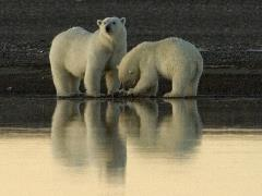Polar bears - credit USFWS