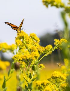 Monarch in native landscape