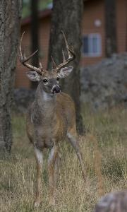 Whitetail deer in suburban setting