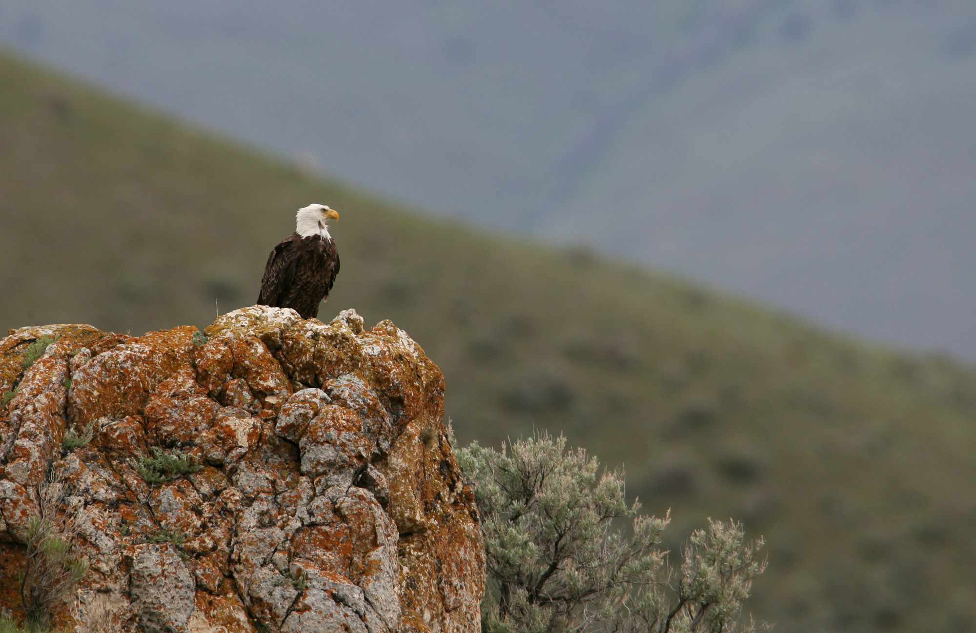 Bald Eagle in Yellowstone National Park. Credit Jim Peaco.