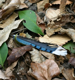 Bluejay Feather_credit Phillip Winn