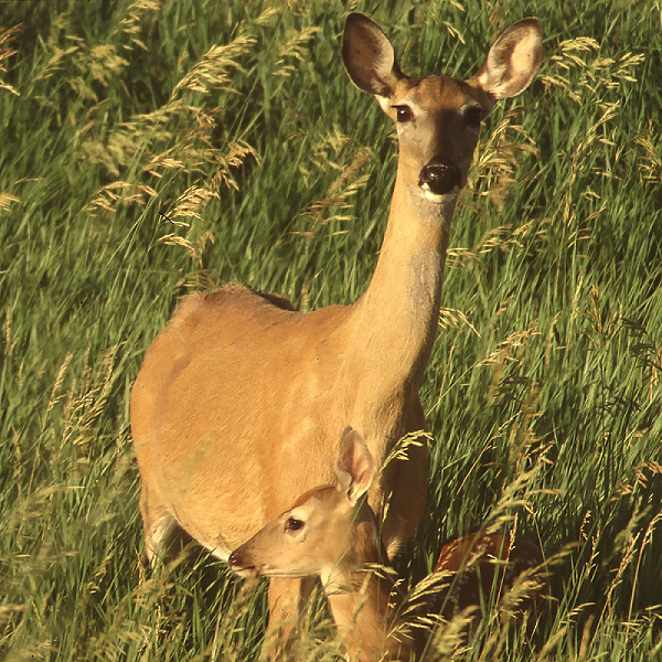 Doe and fawn SD by Dennis Larson, NRCS