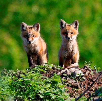 Foxes_credit Michael Furtman