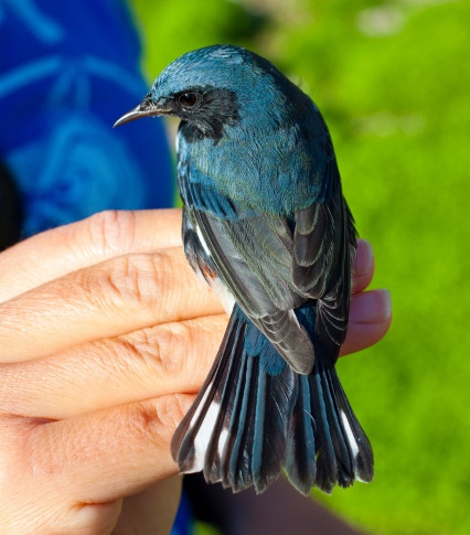 Migrating Black-Throated Blue Warbler_credit Erik Oberg_Island Conservation