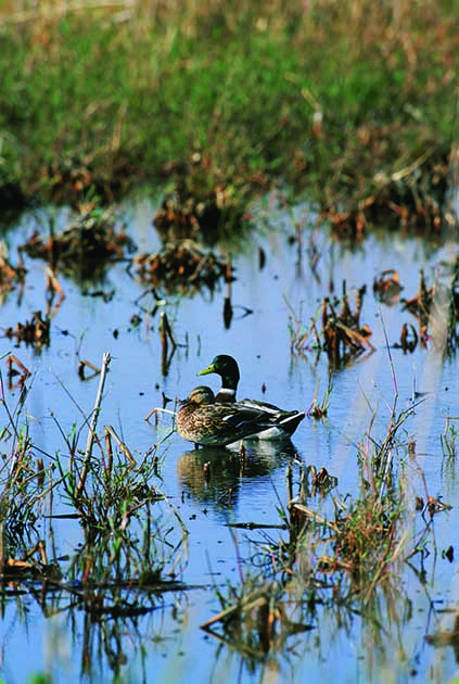 Wetland Ducks photo from U.S. Fish and Wildlife Service