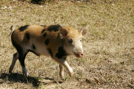 Wild Pig_credit USFWS