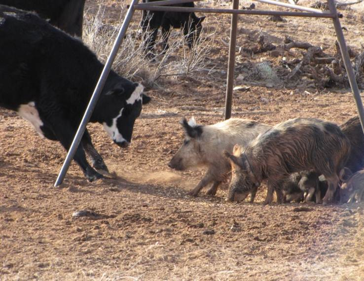 Wild Pigs in New Mexico_USDA